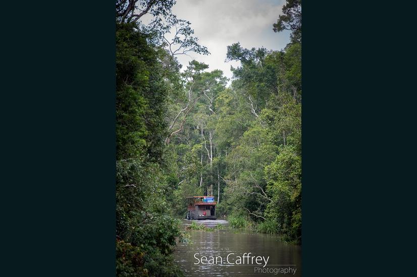 067_Kalimantan orangutans