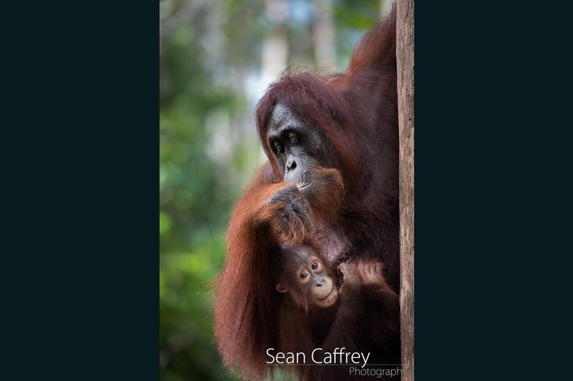 069_Kalimantan orangutans