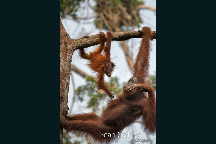 070_Kalimantan orangutans