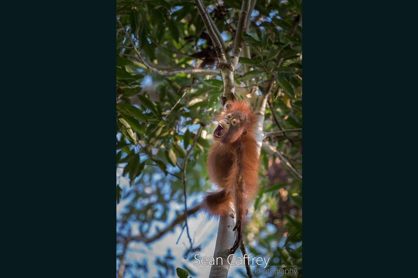 073_Kalimantan orangutans