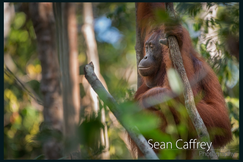 075_Kalimantan orangutans
