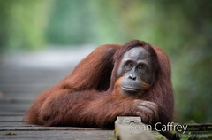 068_Kalimantan orangutans