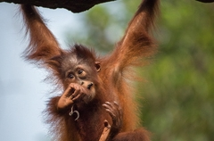 071_Kalimantan orangutans