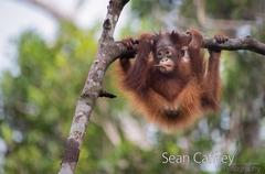 072_Kalimantan orangutans