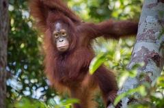 074_Kalimantan orangutans