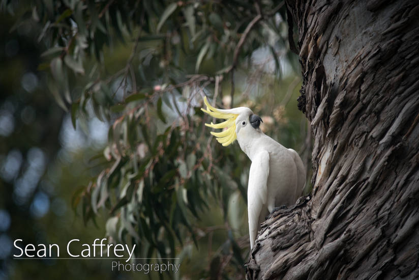 Cockatoo in Royal National Park